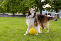 Collie dog playing with a ball in the park Royalty Free Stock Photography