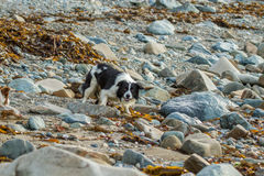 Collie dog. Playing on the beach amongst the sand and rocks stock image