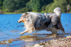 Collie dog playing at the lake Royalty Free Stock Image