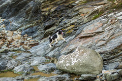 Collie dog. Collie playing on the rocks at perren beach running and jumping over the rocks stock image