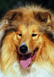Collie dog portrait Royalty Free Stock Image