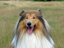 Collie dog portrait Royalty Free Stock Photos