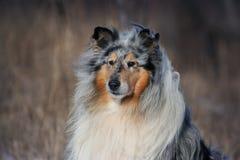 Collie dog portrait Stock Photo
