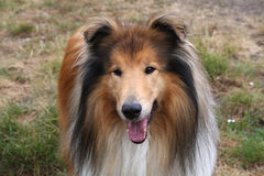 Collie dog portrait close-up. Close-up head shot of a beautiful Rough Collie dog Royalty Free Stock Photo