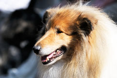 Collie dog portrait Stock Images