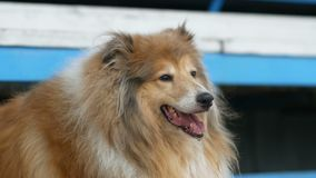 Collie dog portrait on show stock video footage