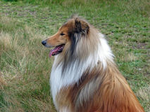 Collie dog in profile. Beautiful Rough Collie dog looking into the distance Stock Images