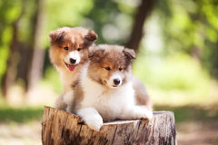 Collie dog puppies. Two fluffy cute puppies of collie breed with red and white hair on a stump on a summer sunny day royalty free stock image
