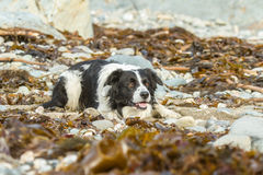 Collie dog. Puppy collie playing on the beach amongst the rocks and sea weed stock photography