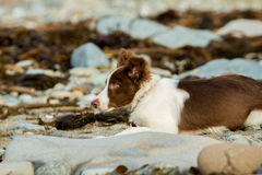Collie dog. Puppy collie playing on the beach amongst the rocks and sea weed royalty free stock photography