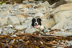 Collie dog. Puppy collie playing on the beach amongst the rocks and sea weed royalty free stock photos