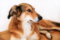 Rough collie dog lying on under and resting in the bedroom. Royalty Free Stock Photography