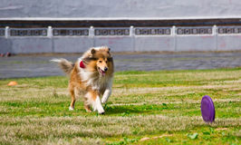 Collie dog running after a Frisbee disc competitions Stock Photos