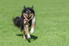 Collie dog running Royalty Free Stock Images