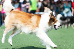 Collie dog running Royalty Free Stock Image