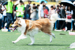 Collie dog running Stock Photo