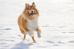 Collie dog running on snow field Stock Photo