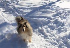 A collie dog runs through the snow stock photography