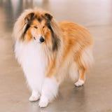 Collie Dog ruvida rossa Fotografie Stock