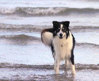 Collie Dog in the Sea. A border-collie dog stands alert on a bright sunny day, with paws in the water's edge Royalty Free Stock Photo