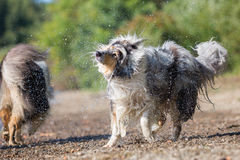 Collie dog shakes the fur at the lake Royalty Free Stock Photo