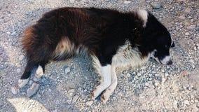 Collie Dog Sleeping imagen de archivo libre de regalías
