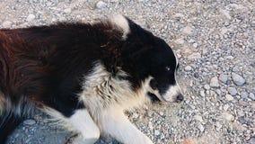 Collie Dog Sleeping fotografía de archivo libre de regalías