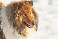 Collie dog in snow Royalty Free Stock Image