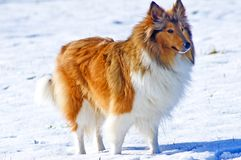 Collie dog in snow Royalty Free Stock Photography
