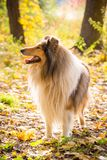 Collie dog standing on autumn forest stock image