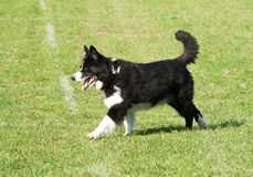 Collie dog striding out Stock Photos