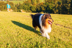 Collie dog walking on the meadow Royalty Free Stock Photo