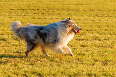 Collie dog walking on the meadow Stock Image