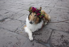 Collie dog. Royalty Free Stock Photography