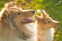 Collie dogs royalty free stock images