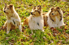 Collie dogs Stock Photos