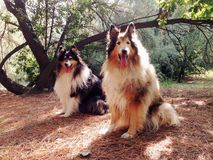 Collie Dogs Stock Images