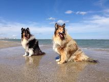 Collie Dogs på stranden Royaltyfri Bild