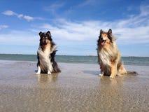 Collie Dogs på stranden Arkivfoton