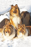 Collie dogs in snow Stock Photo