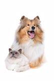 Collie escocés y un gato Imagenes de archivo