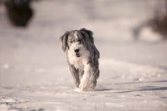 Collie farpada do cão macio que corre na neve Imagem de Stock
