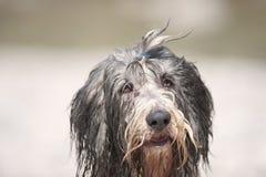 Collie farpada do cão muito molhado Fotografia de Stock Royalty Free