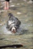 Collie farpada do cão que corre na água Imagens de Stock