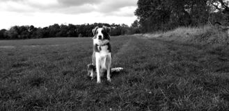Collie in field stock photos