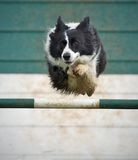 Collie In Flight Stock Photography