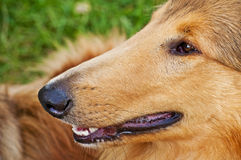 Collie head Stock Photography