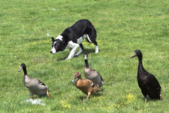 Collie herding ducks. Working Collie dog herding Indian Runner ducks. There are white painted marks on the grass Royalty Free Stock Photography