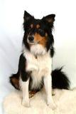 Collie-Hund, der erwartungsvoll sitzt Stockbild