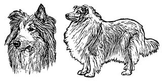 Collie illustration Royalty Free Stock Photography